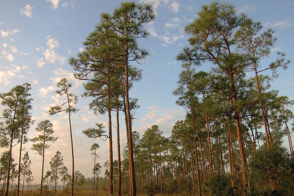 Plants-Pinus-elliotti-var-densa.jpg