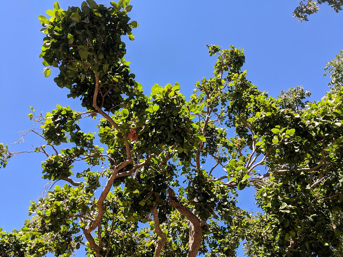Coccoloba Diversifolia - Pigeon Plum_sky-view.jpg