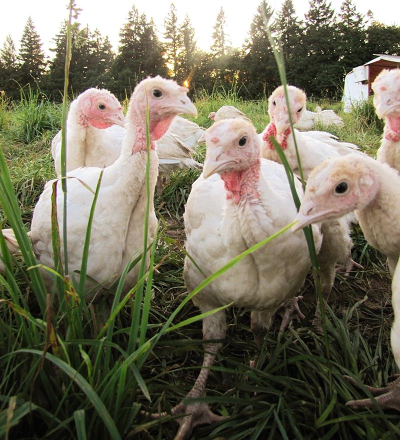 Turkeys-Young-POR.jpg