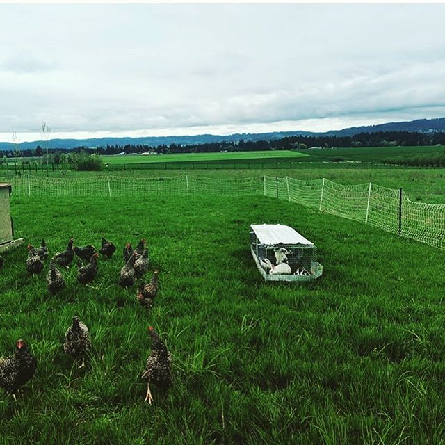 Got the layers out on the pasture today! . . . #pastureraised #eggs #chicken #homegrown