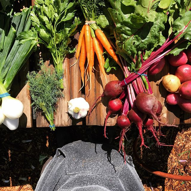Short Stock Farm CSA week ✌️ Beets, carrots, new potatoes, garlic, walla walla onions, parsley, dill, kale...not pictured: cabbage . . . #eatright #nottoolate #signupnow #visitourwebsite #knowyourfarmer #csa #veg #yum #celebratethegoodlife