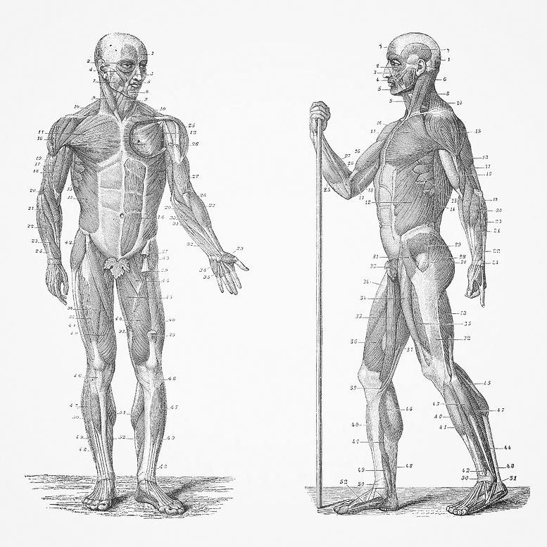 dual-view-human-muscle-system-vintage-anatomy-vintage-anatomy-prints.jpg