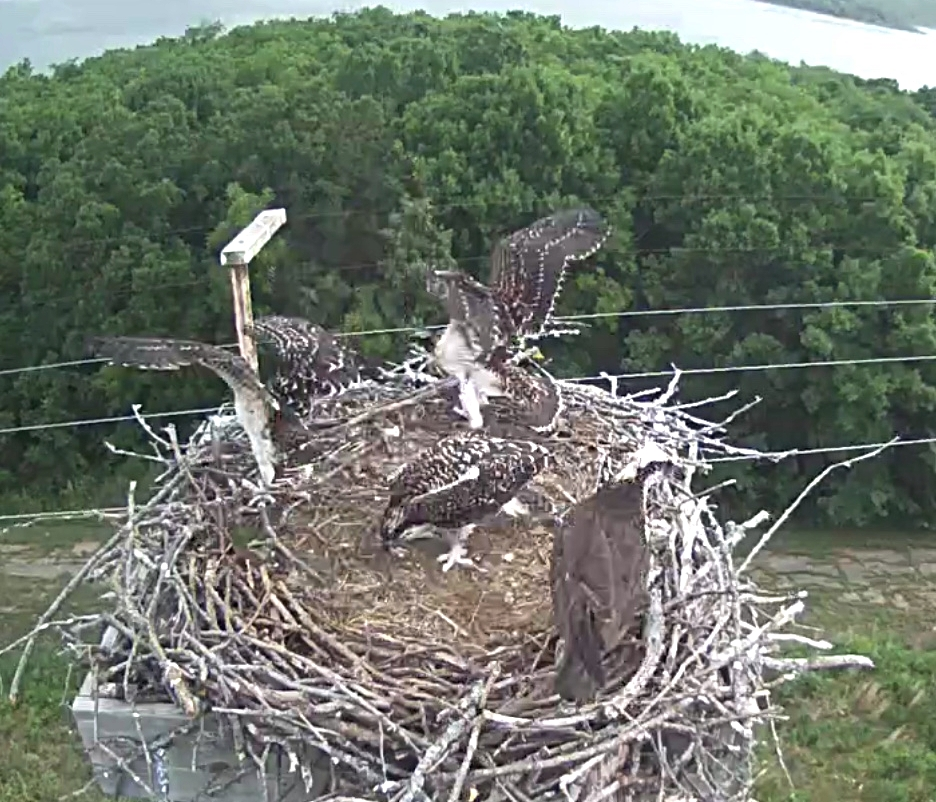 Osprey parents raised three healthy youngsters in 2018.