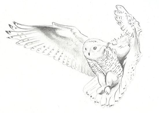 drawing-owl.jpg