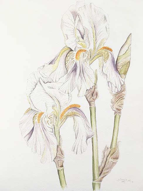 2018-spring-iris-web.jpg