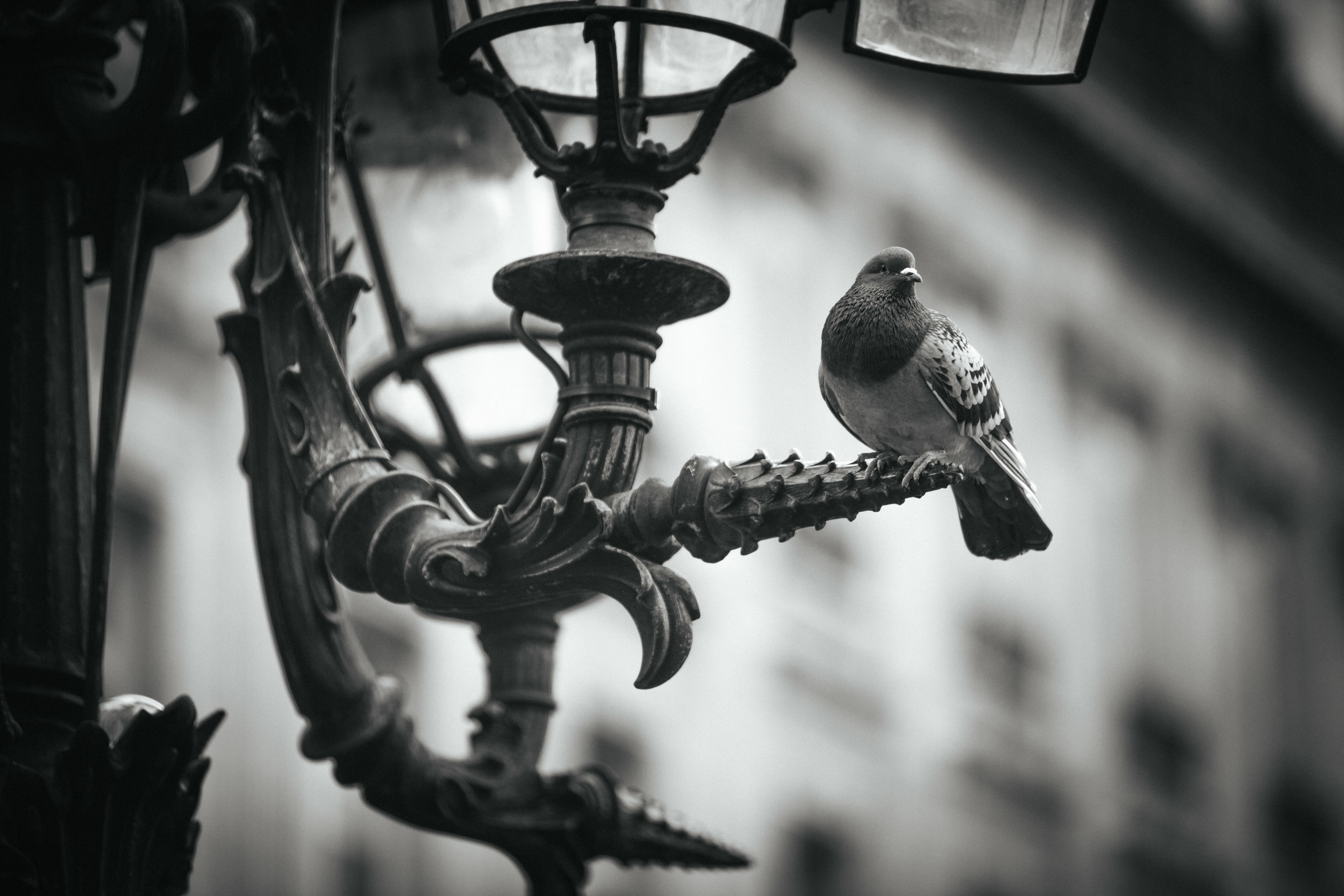 Rock Dove on Street Lamp . Paris