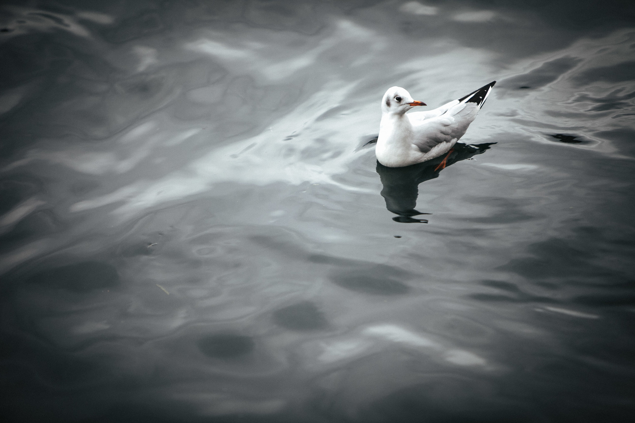 Seagull . Interlaken