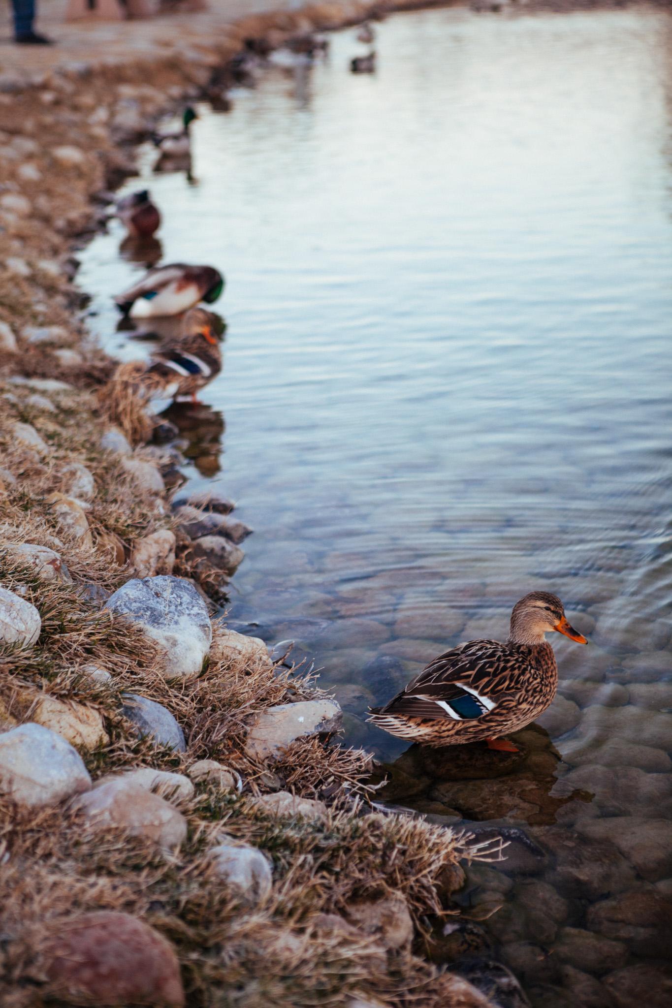 A female Mallard along the river bank