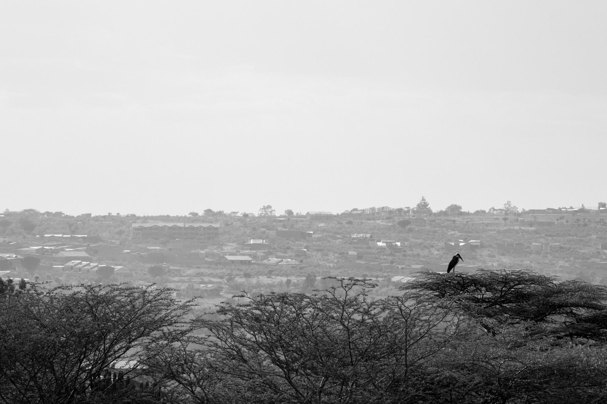 Marabou Stork resting on an Acacia tree.