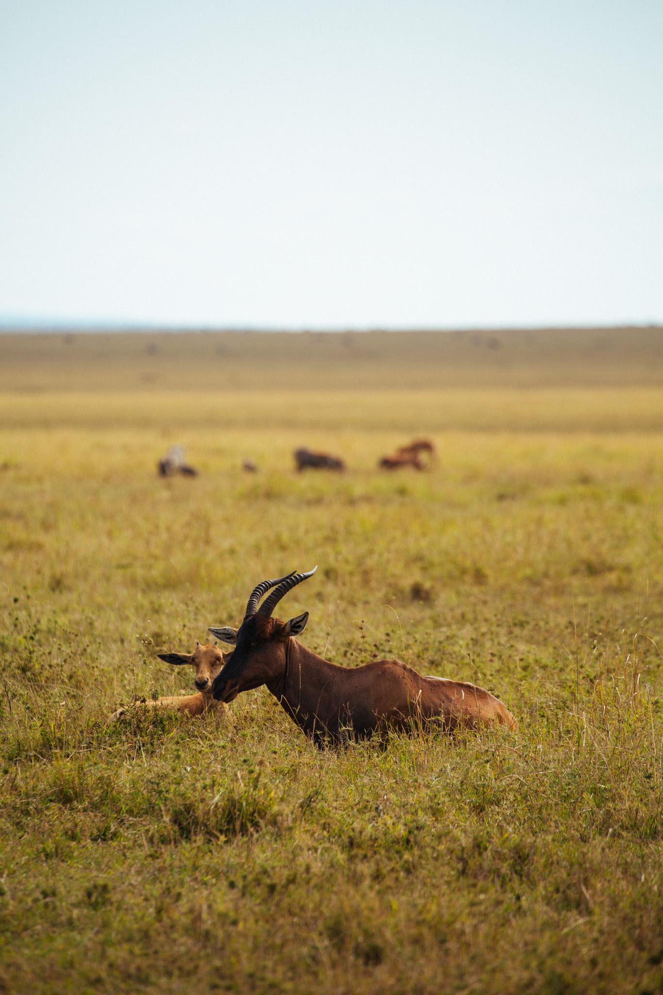A female Topi and her calf.