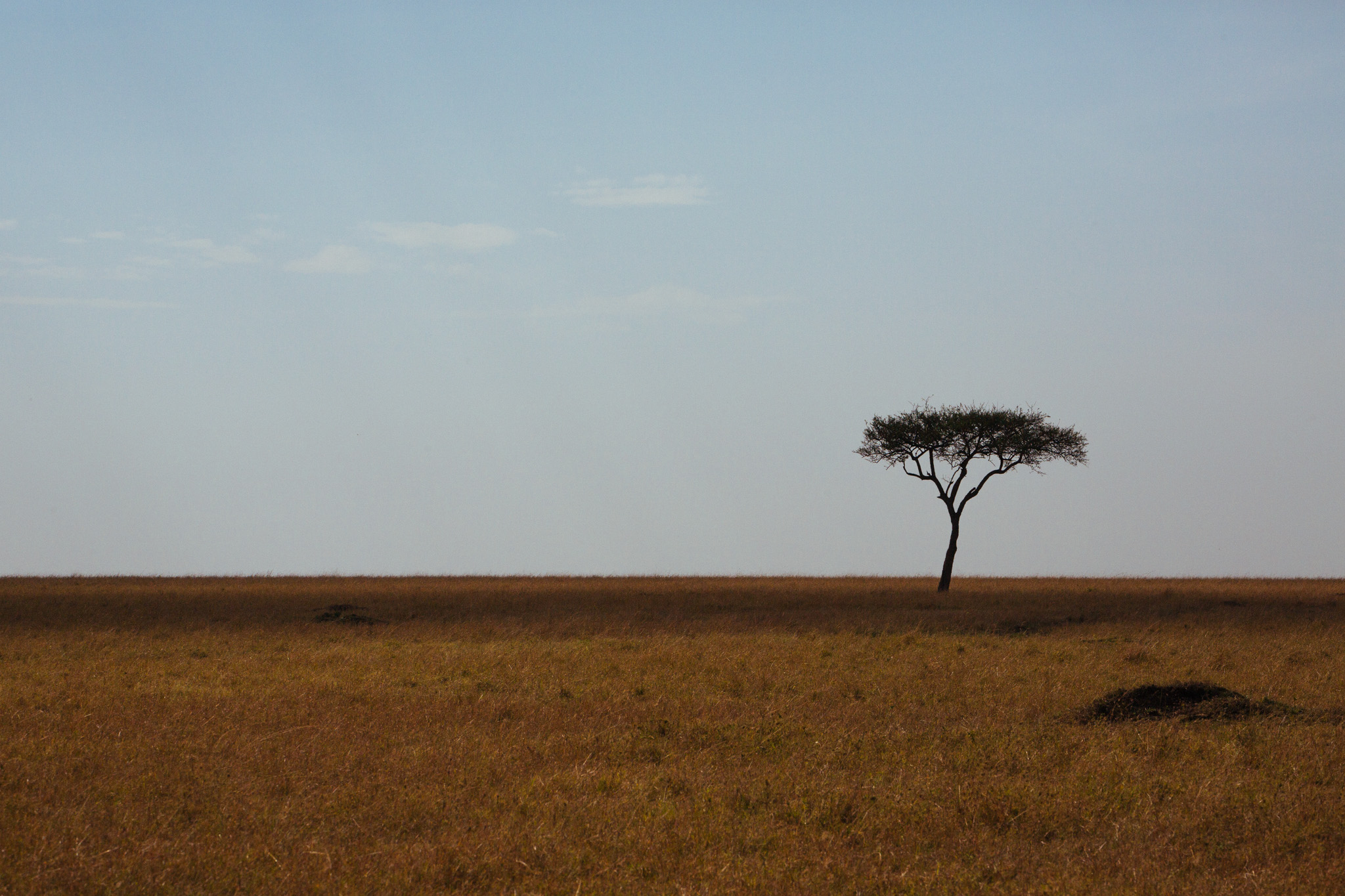 A solitary Acacia tree.