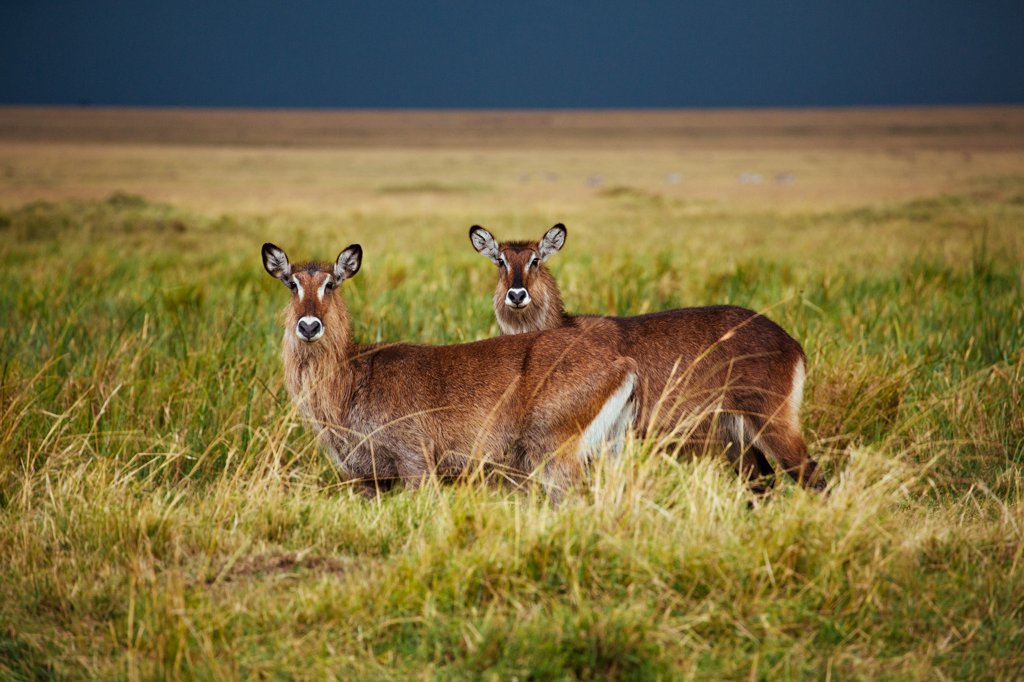 Two alerted female Waterbucks. Males have long spiral horns that curve backwards.