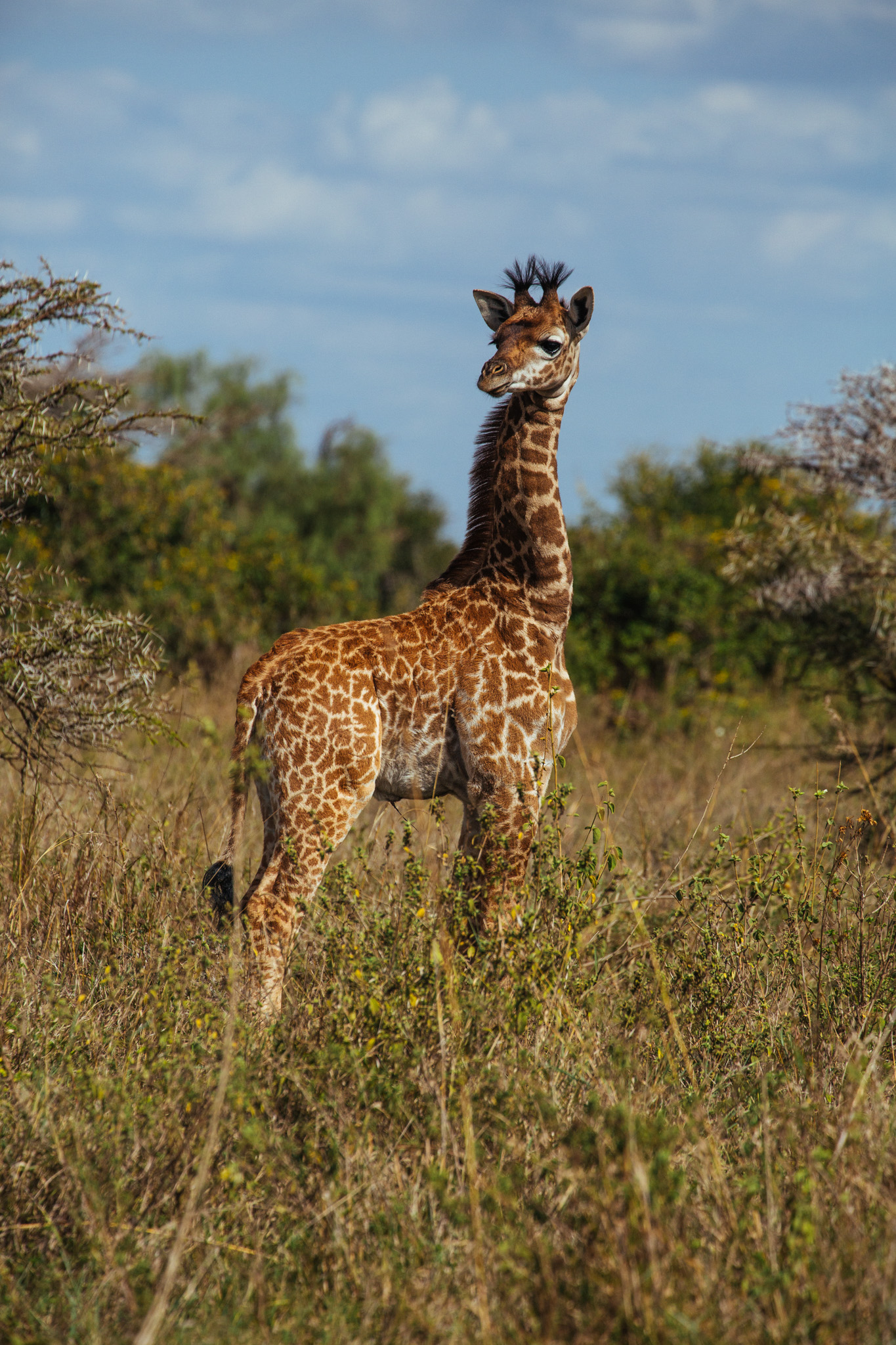 Juvenile Giraffe . Nairobi National Park