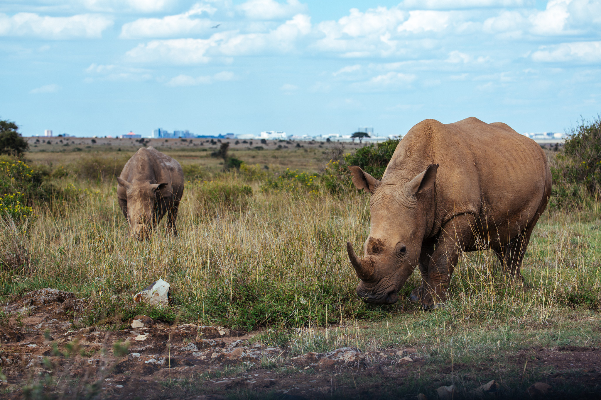White Rhinos . Nairobi National Park .