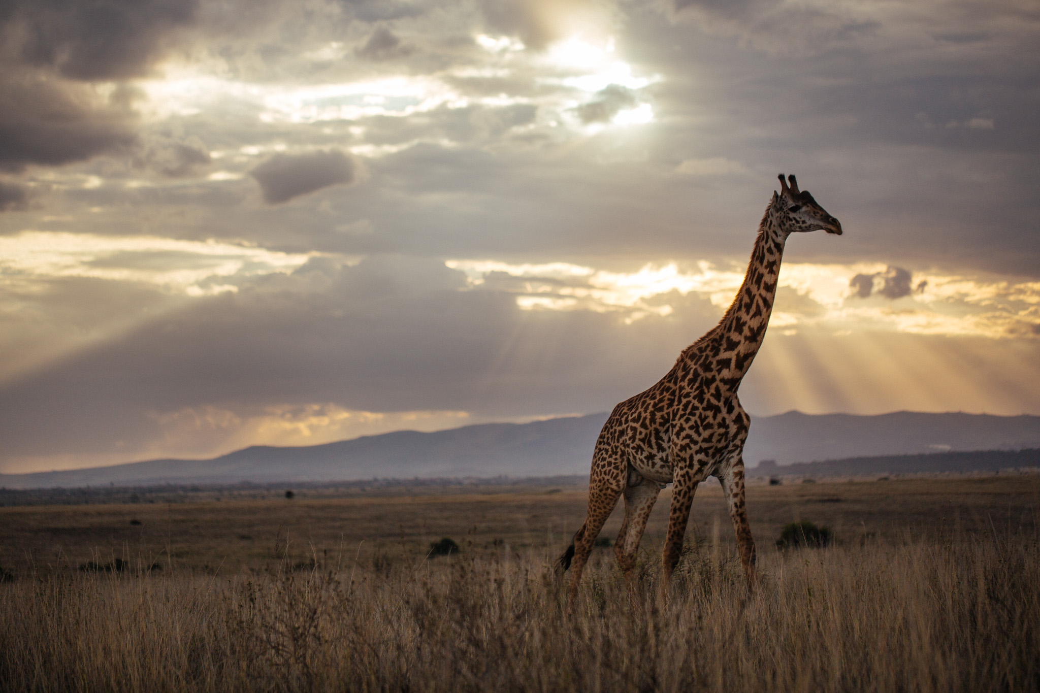 Giraffe in the sunset . Nairobi National Park