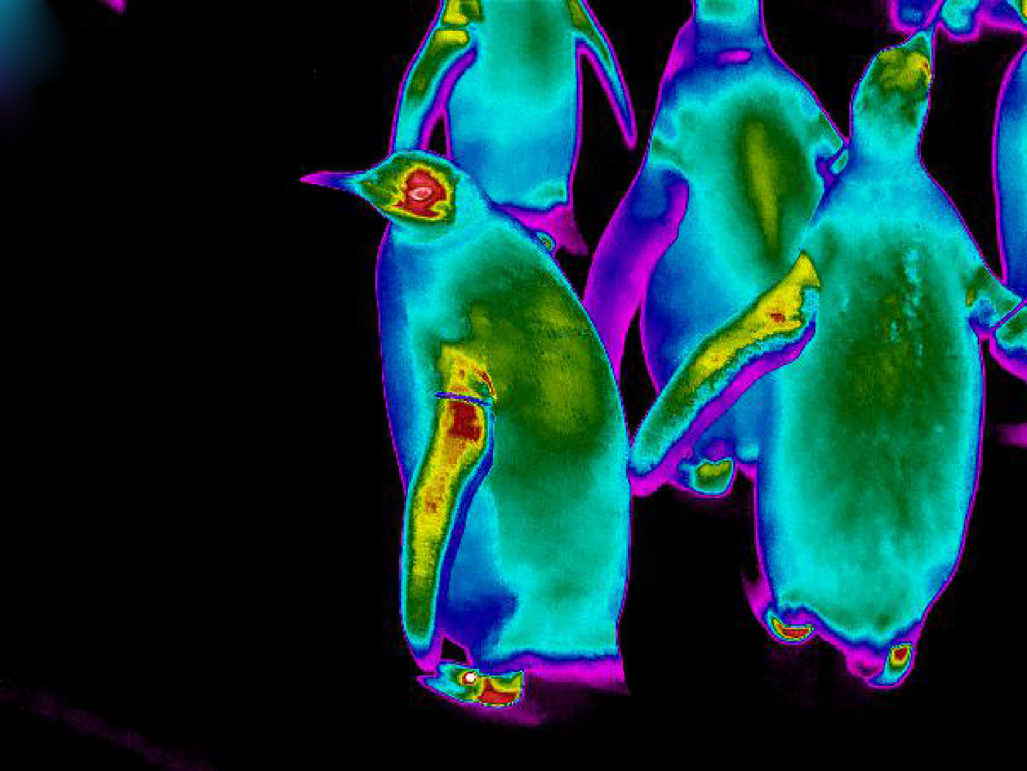 King Penguins showing high heat loss from flippers, feet and head at Edinburgh Zoo.