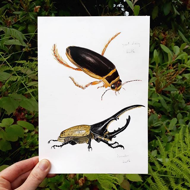 Some of the original drawings I did for Bug Bingo by @laurencekingpub. Great diving beetle and Hercules beetle. #bugbingo