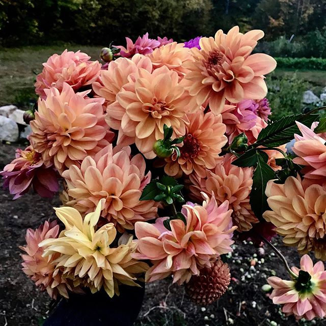 Snipped 150+ dahlias tonight for weddings this weekend. Loving this last handful of orange and peach hues!