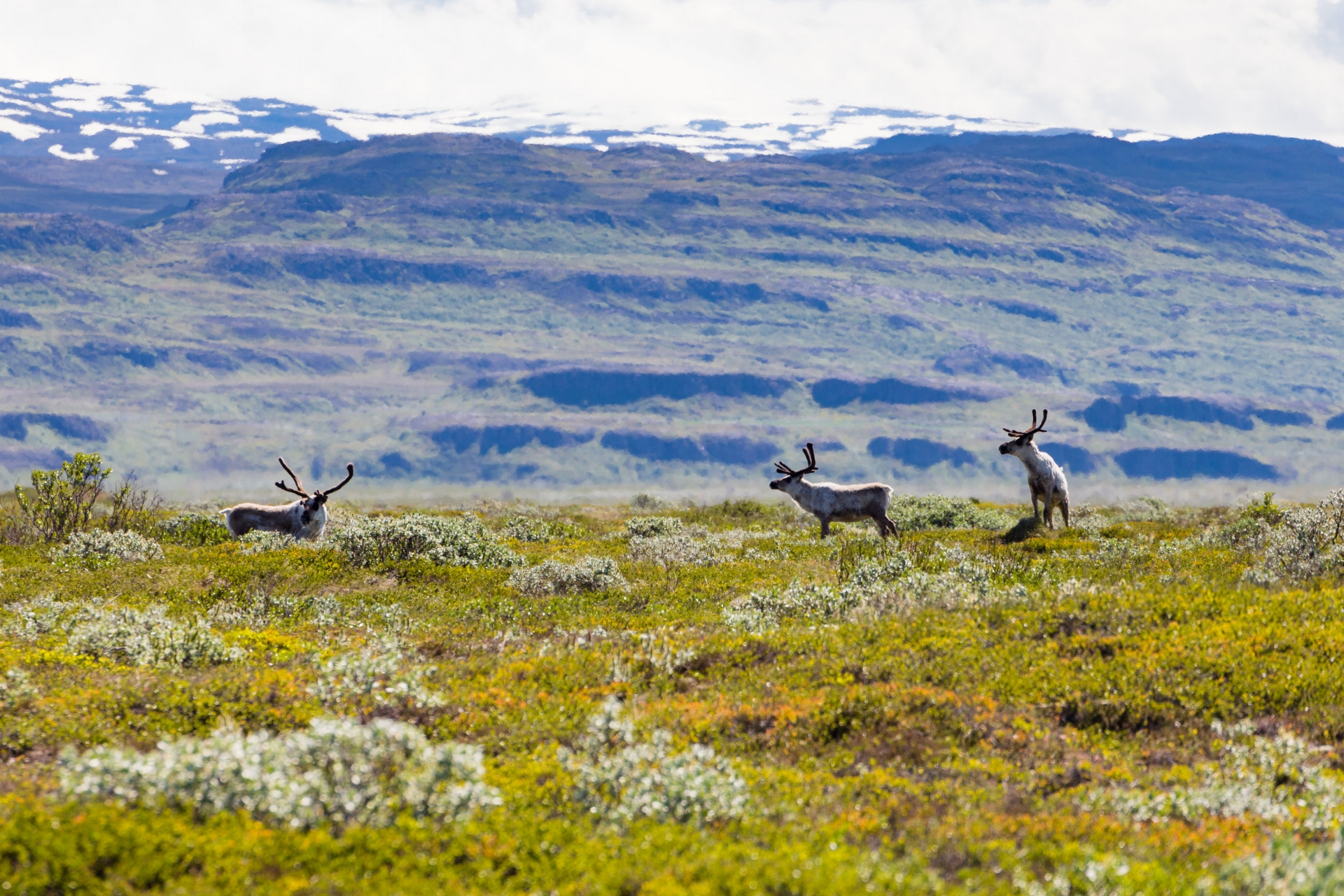 When you're travelling in East Iceland (and you're lucky), you might spot some reindeer.