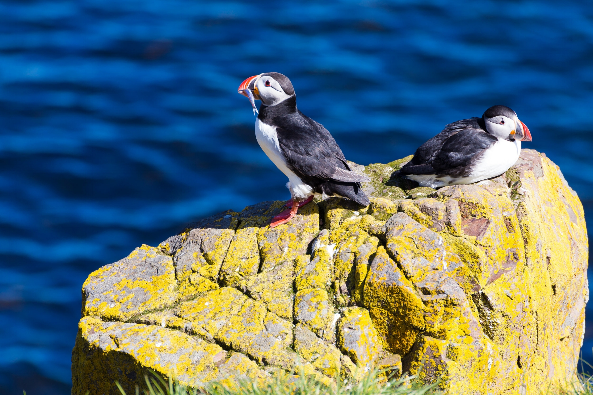 At Borgarfjörður-Eystri's harbour, there are hundreds of puffins sitting within an arm's length of the viewing platforms.