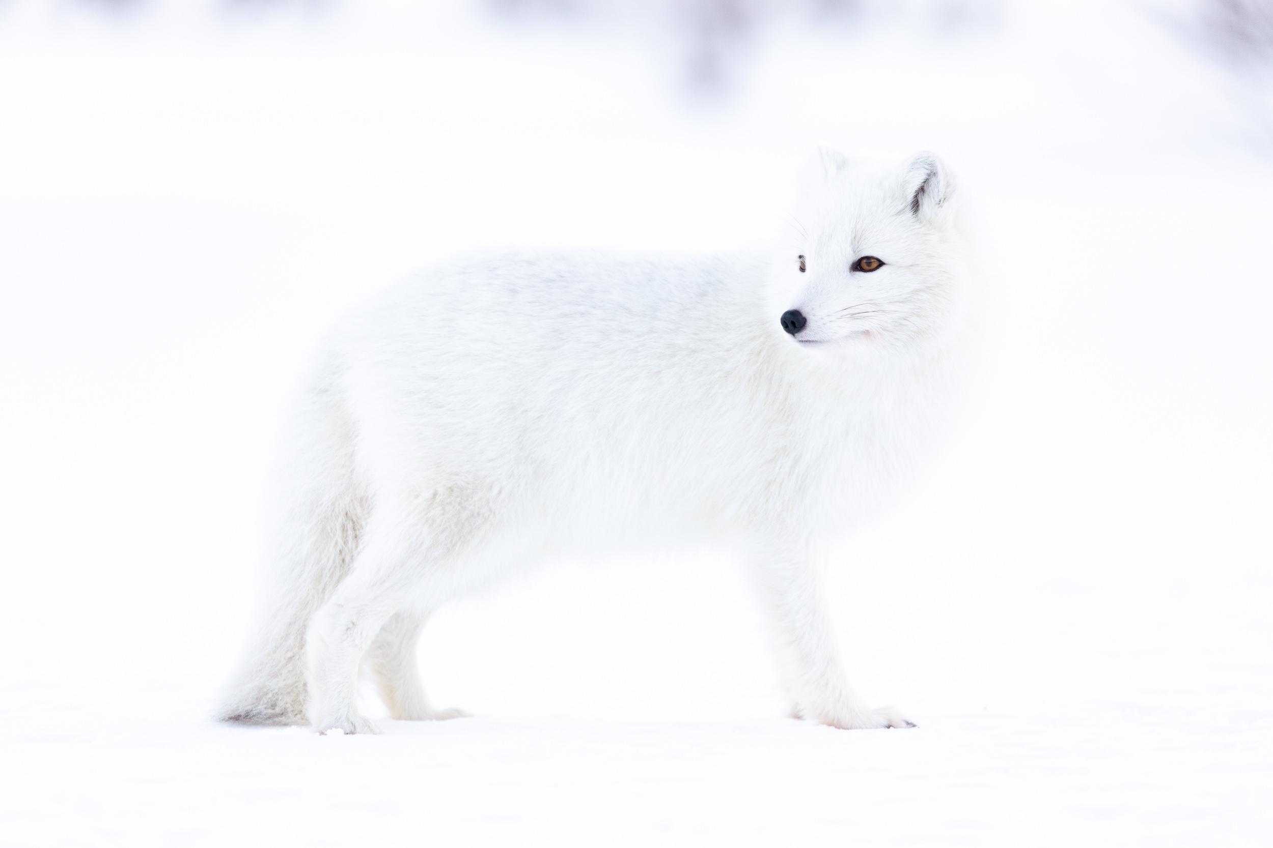 arctic-fox-winter.jpg