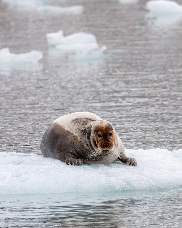 Selur. A rust-coloured bearded seal relaxing on a floating piece of ice in Magdalenafjorden, Svalbard. They get part of their name from the unusually long whiskers, making it look like they're bearded. They use the whiskers to more easily locate food at the bottom of the water. The orange/red face is something they get over time by feeding from the sediment at the bottom. This contains a lot of iron, causing the discolouring of their faces. #svalbard⁠ . . . . #spitsbergen #svalbard #arctic #roamtheplanet #earthoutdoors #visualsofearth #aswediscover #naturegramy #planet_locations #puffins #natgeo #eclectic_shotz #norway #beautifuldestinations #dronestagram #earthpix #djiglobal #mavicpro #discoverearth #visualcreators #photography #seal #wildlife #beardedseal #nature #visitnorway #landscape #visitsvalbard #puffinstravel