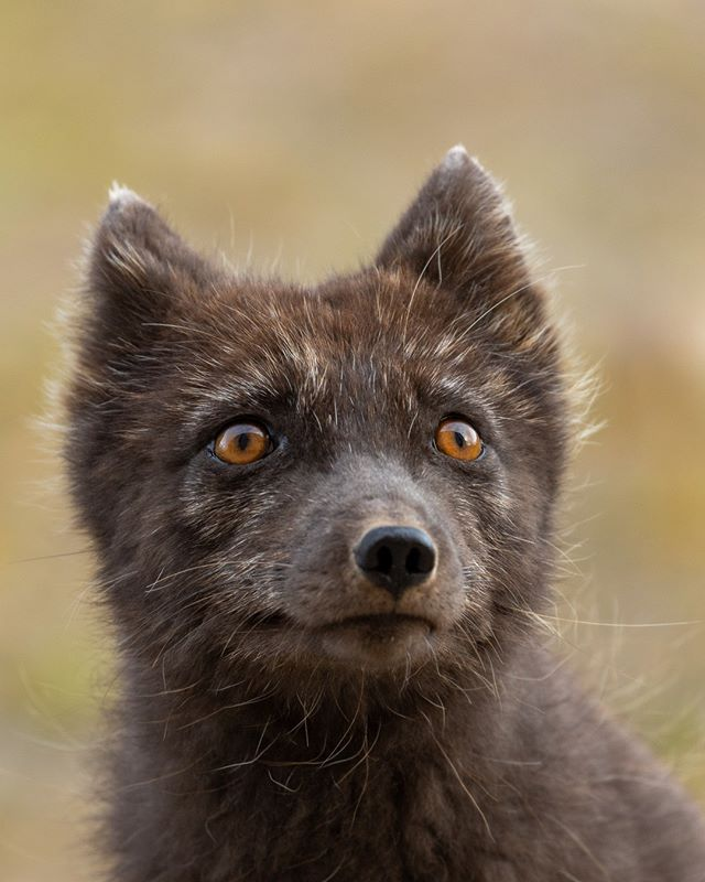 Melrakki. This is by far one of the cutest Arctic Fox shots I was able to take during my visit to Pyramiden, a Russian abandoned mining village in Spitsbergen. Even far way from home, I love to capture foxes with my camera if I encounter them. This was taken using a 100-400mm Canon lens with a 1.4x extender. #svalbard⁠ . . . . #spitsbergen #svalbard #arctic #roamtheplanet #earthoutdoors #visualsofearth #aswediscover #naturegramy #planet_locations #puffins #natgeo #eclectic_shotz #norway #beautifuldestinations #foxfriday #earthpix #canon #fox #discoverearth #visualcreators #photography #arcticrox #wildlife #pyramiden #nature #visitnorway #landscape #visitsvalbard #puffinstravel
