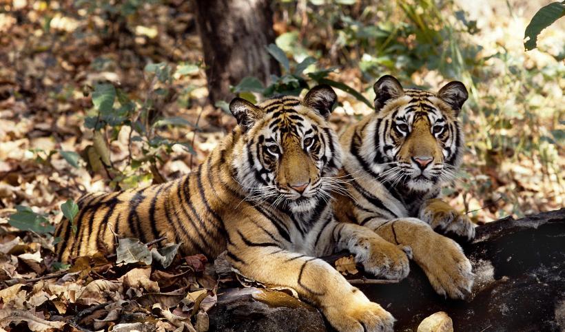 tiger OLX.jpg