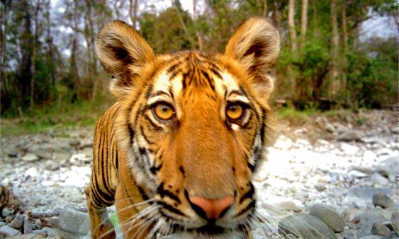 tiger day.jpg
