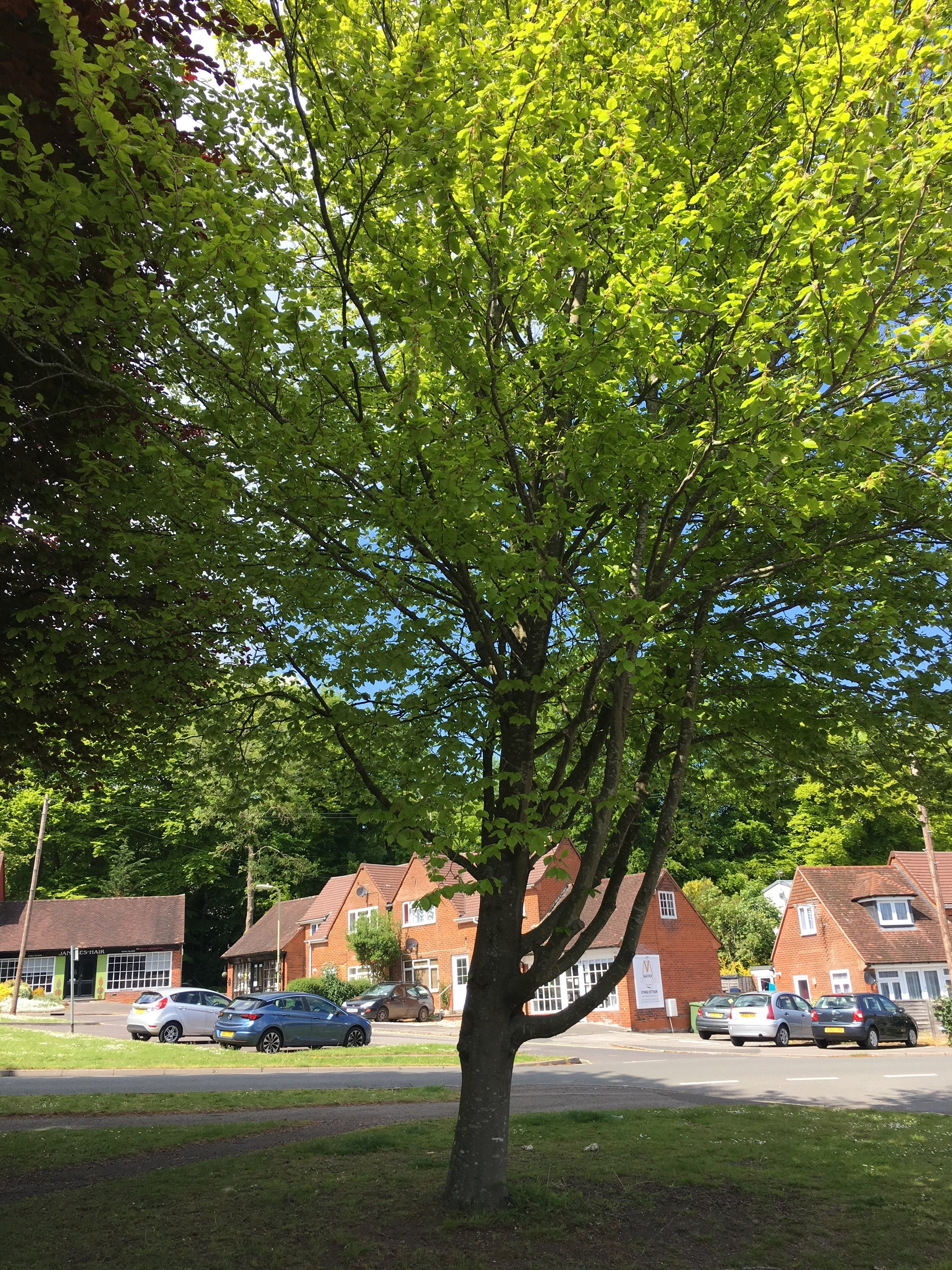The Jubilee tree - 30 years later May 2019