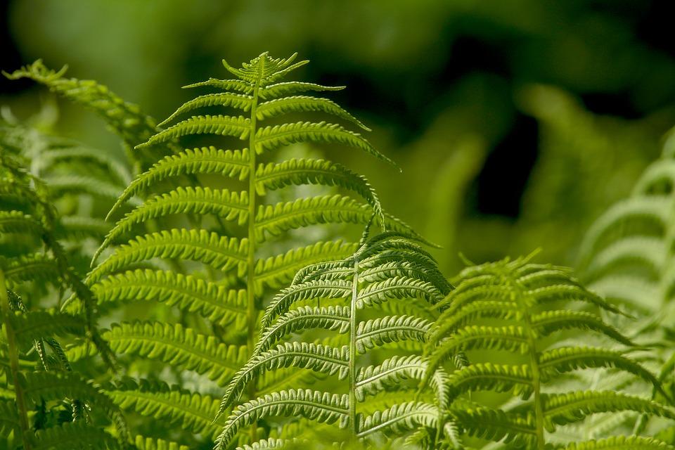 ferns-3378058_960_720.jpg