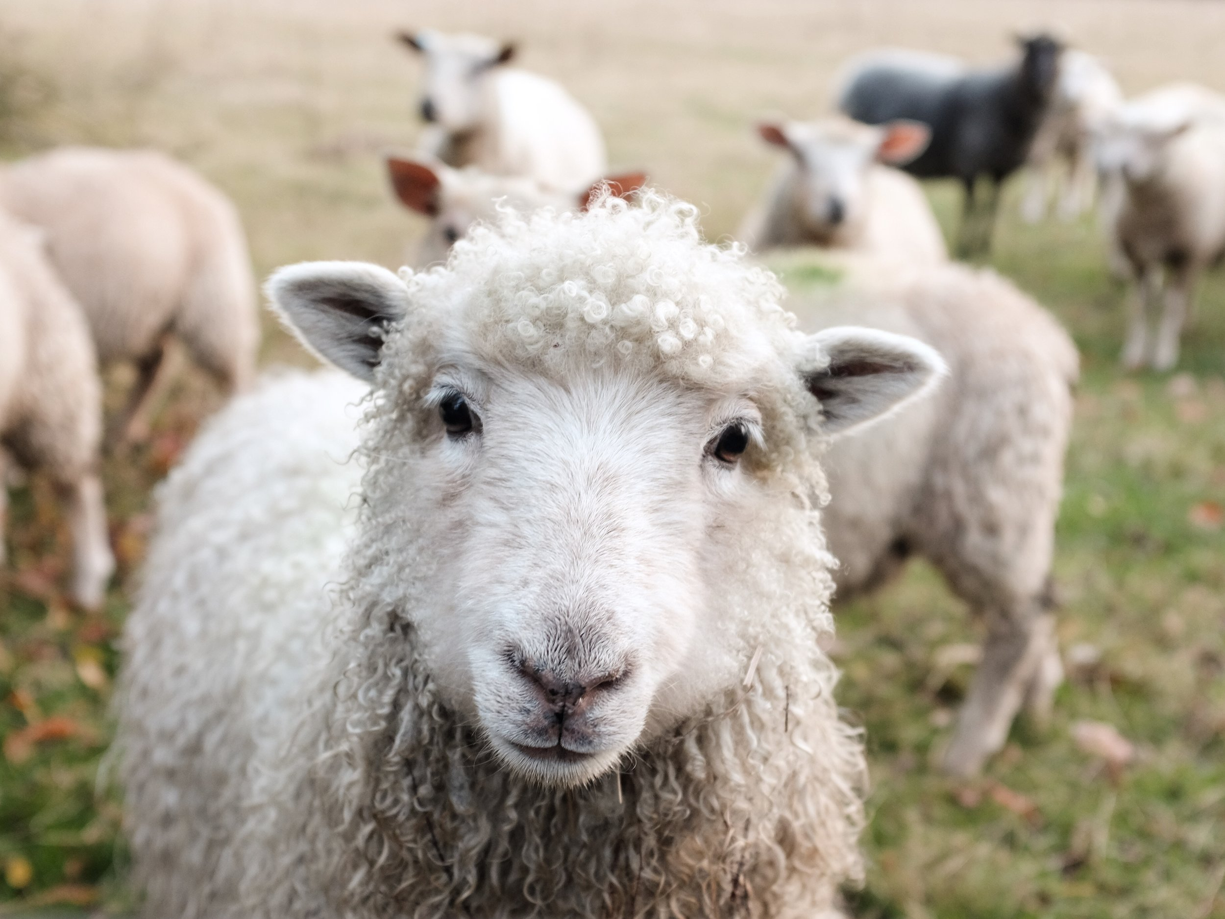 Alpaca sheep farm.jpg