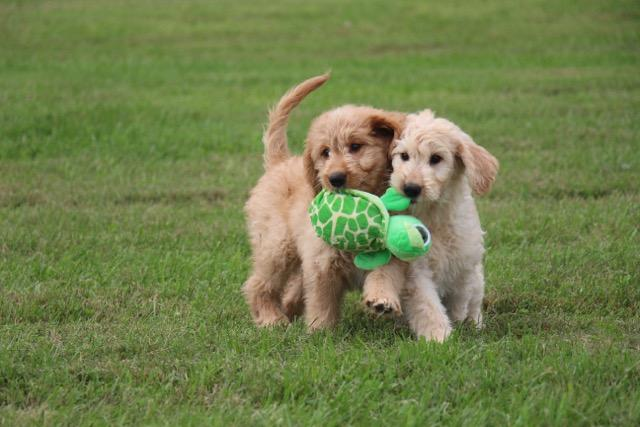 Doodle Pups at Play