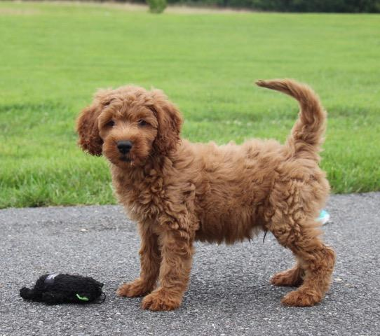Family Friendly Goldendoodle puppy