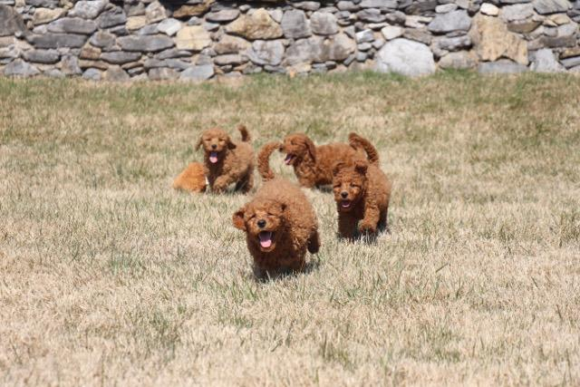 Red Goldendoodles at play