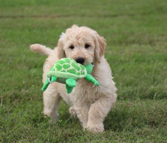 Goldendoodle Puppy Love