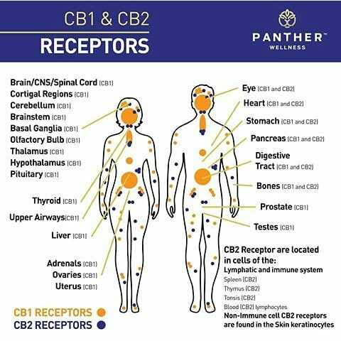 cbd_receptors.jpg