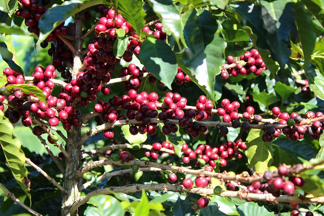 Coffee is ready to be harvested at Doka Estates Plantation in Alajuela, Costa Rica -