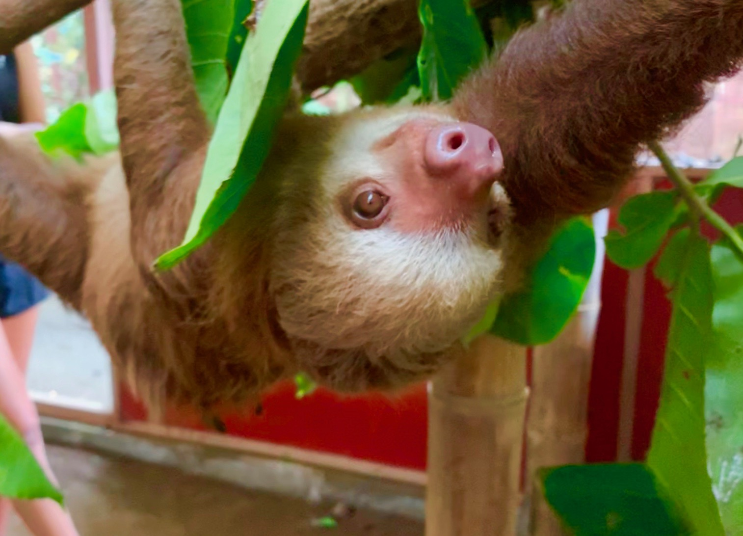 This adolescent two-toed sloth is cared for at the Jaguar Rescue Center near Puerto Viejo, Costa Rica.