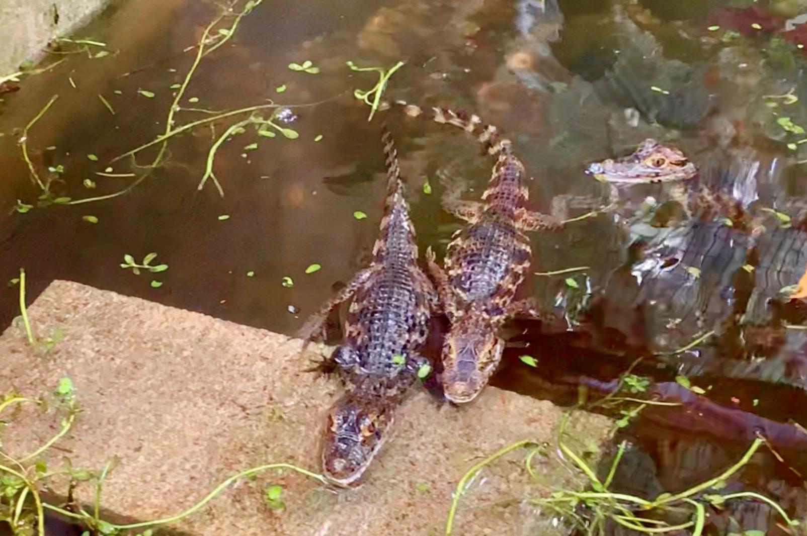 Three caimans in Costa Rica.