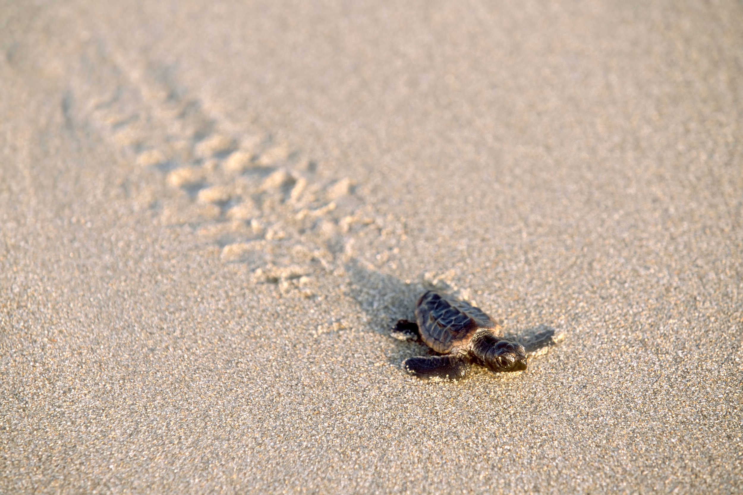 Loggerhead hatchling on its way to the ocean