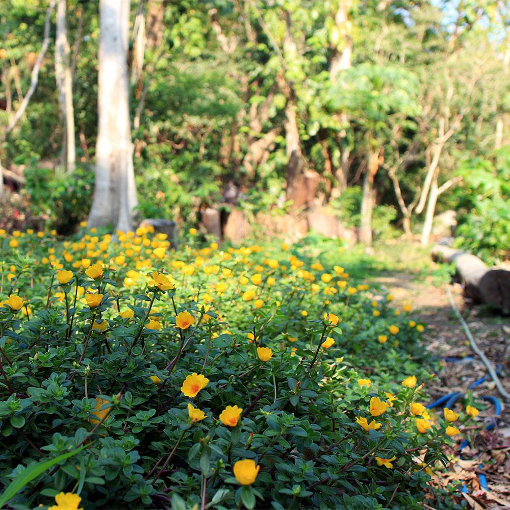 Eden-Hope-Vanuatu-Gardens-Purslane.jpg