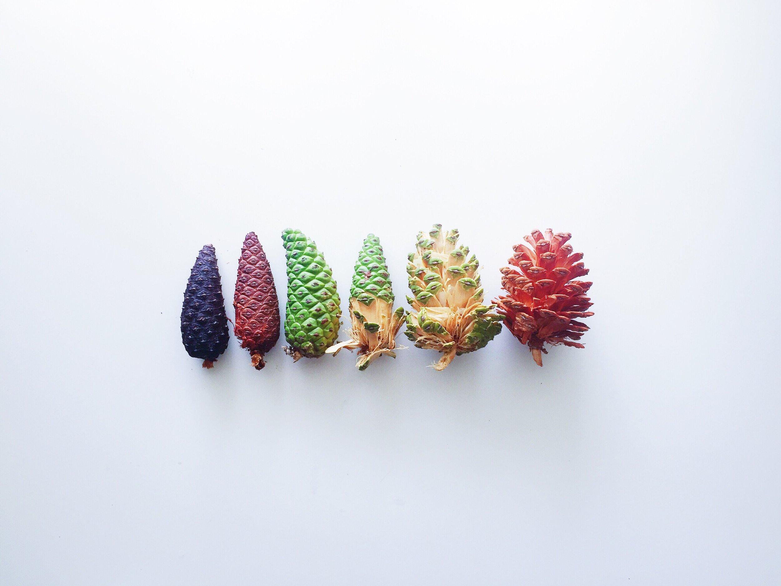 pine-cone-evolution_t20_VoXgvl.jpg