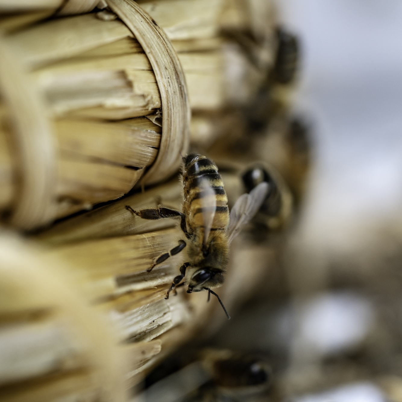 honey bee sinah common honey