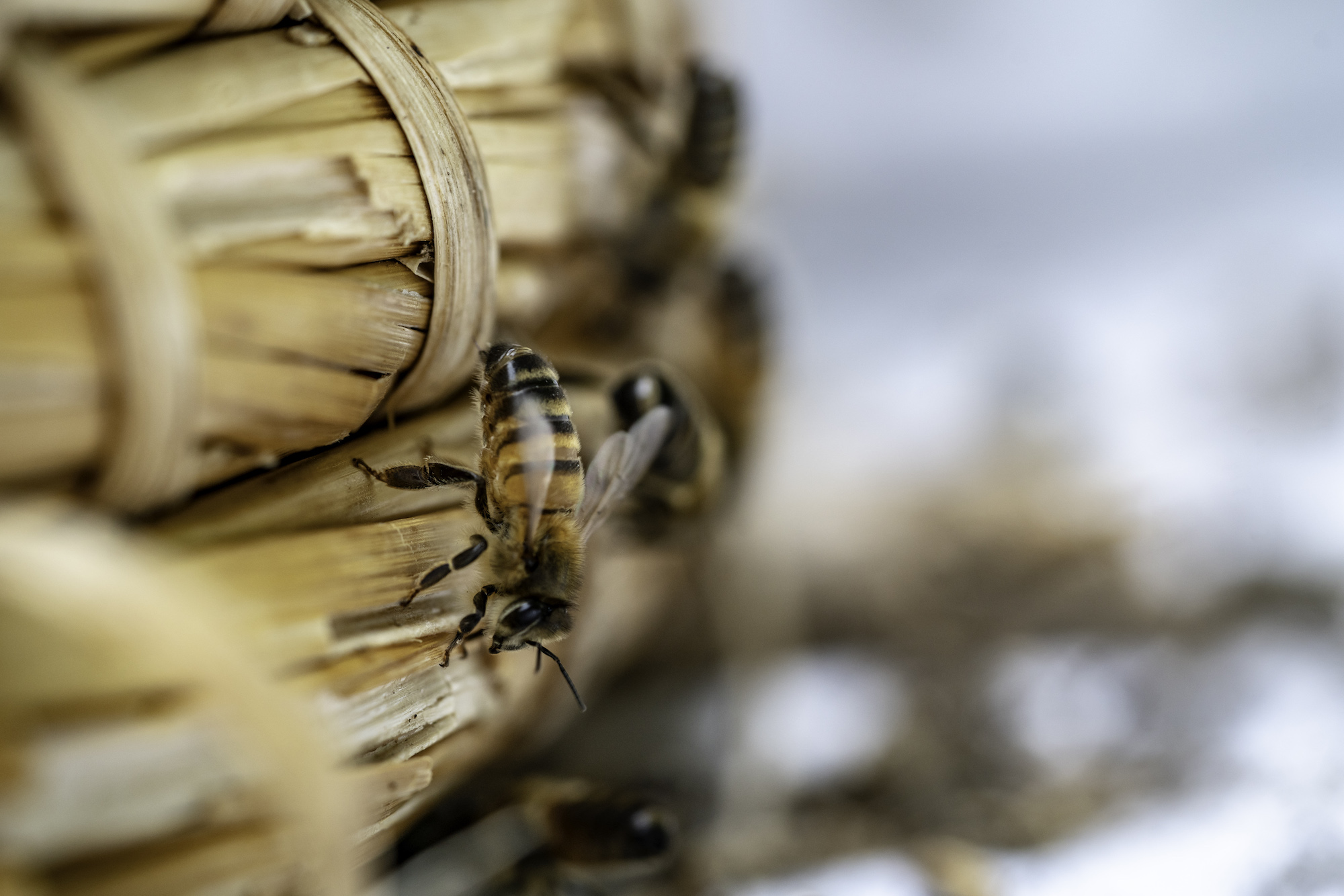 The honeybee (Apis Mellifera)