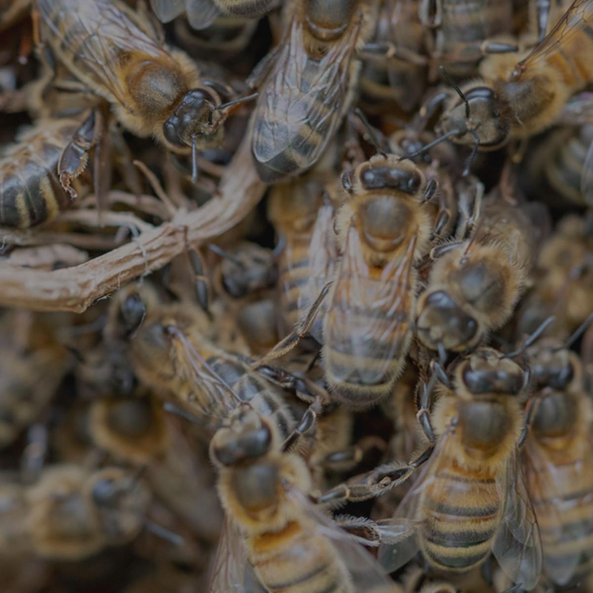 The Honeybee (Apis Mellifera -