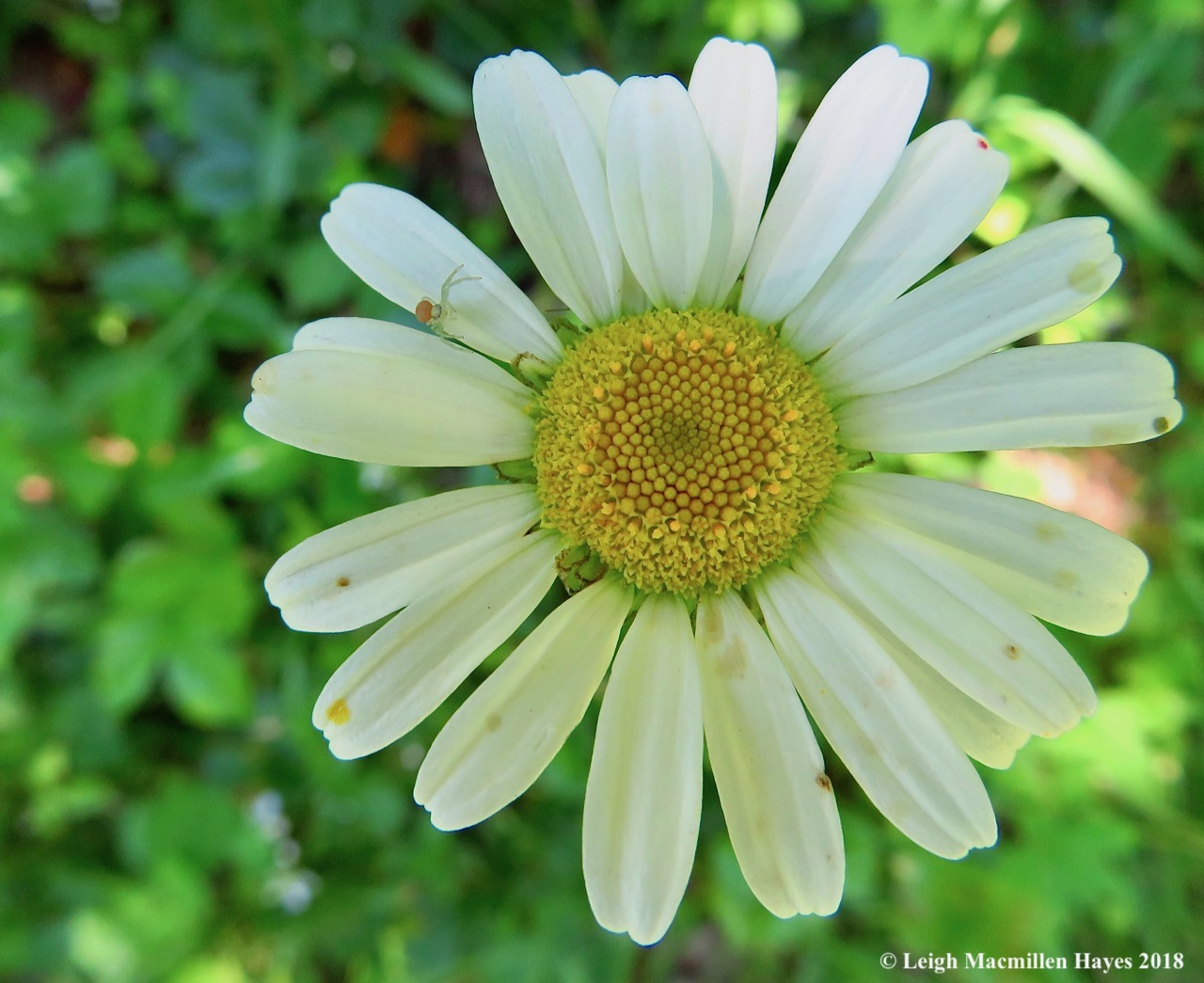 j4-daisy-and-crab-spider.jpg