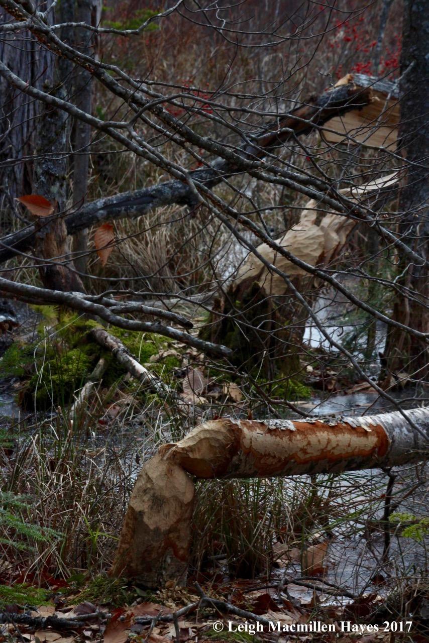 m11-beaver-1.jpg