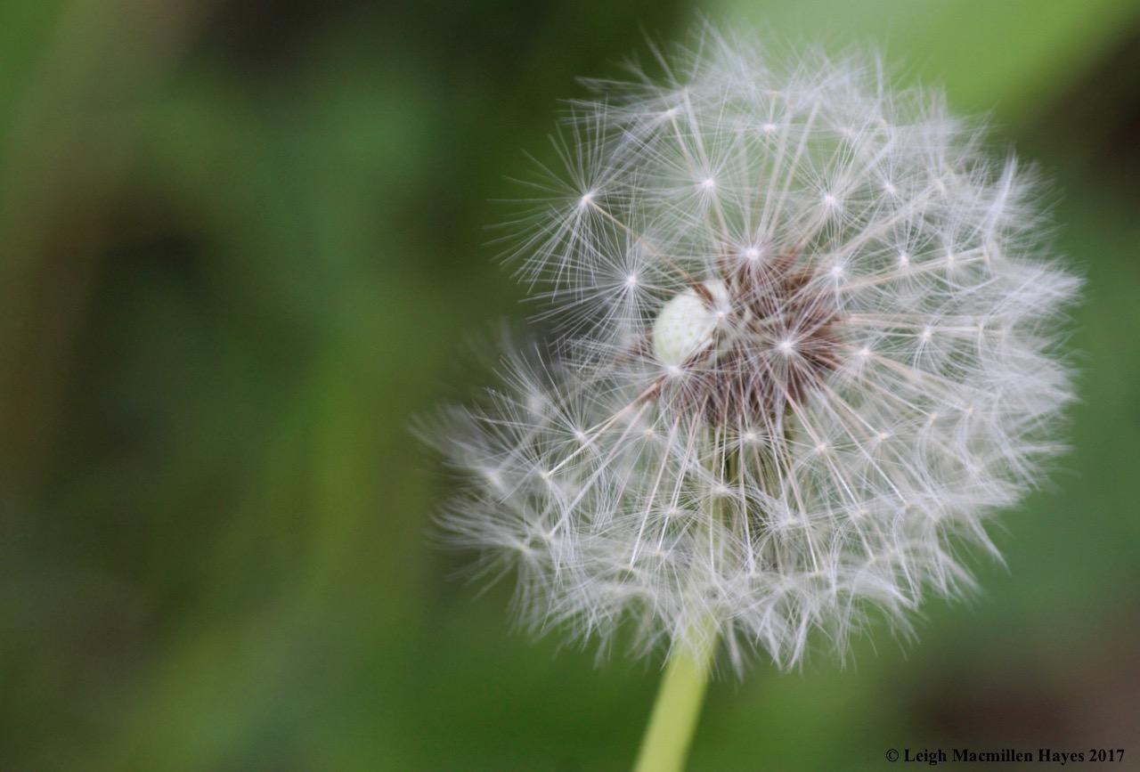 l-dandelion-seed-head.jpg