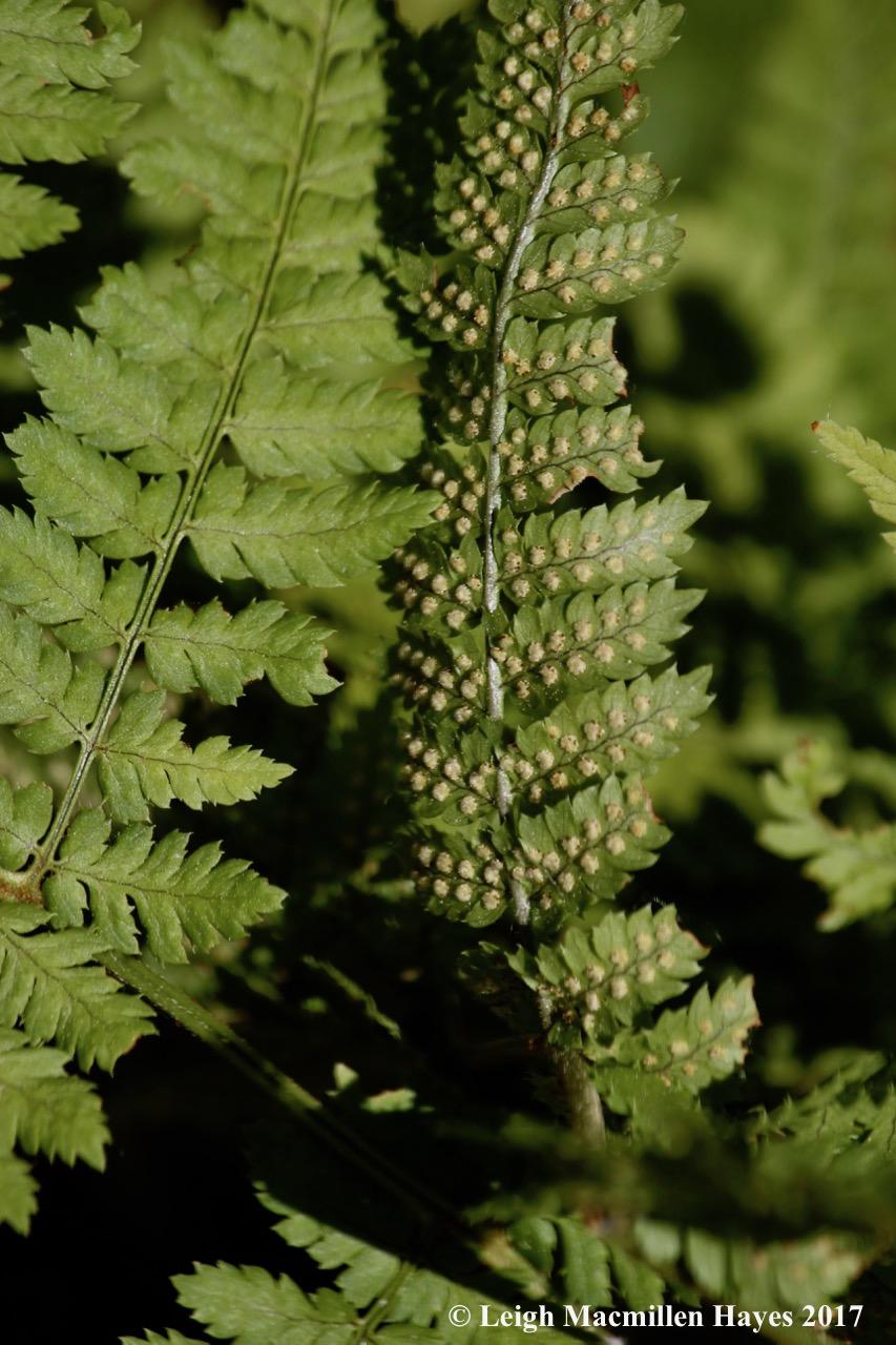 l-wood-fern-with-sori.jpg